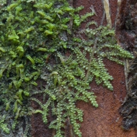 Frullania on Yellow Cedar