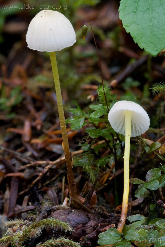 Yellow-stem Mycena