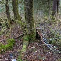 Hygrophorus Habitat
