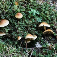 Hypholoma capnoides