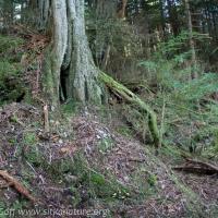 Hypholoma habitat