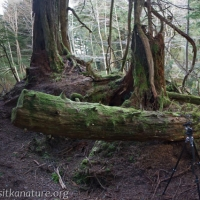 Rowan and Mushroom Log