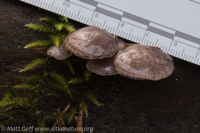 Panellus longinquus