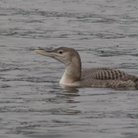 Yellow-billed Loon (Gavia adamsii)