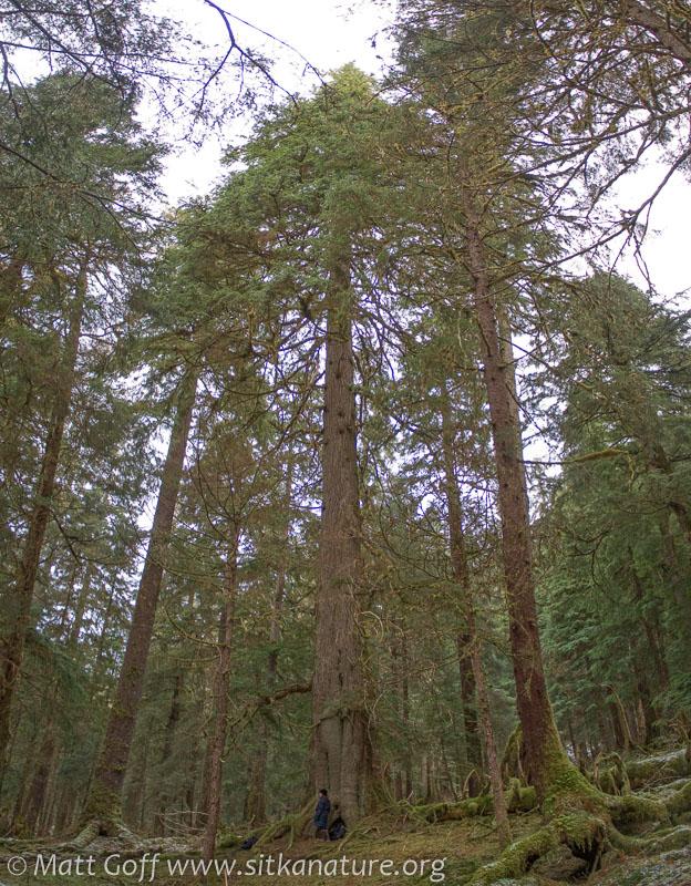 Large Hemlock