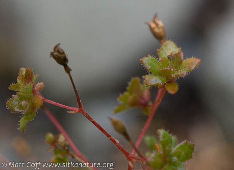 Russet-leaved Saxifrage (Micranthes ferruginea)