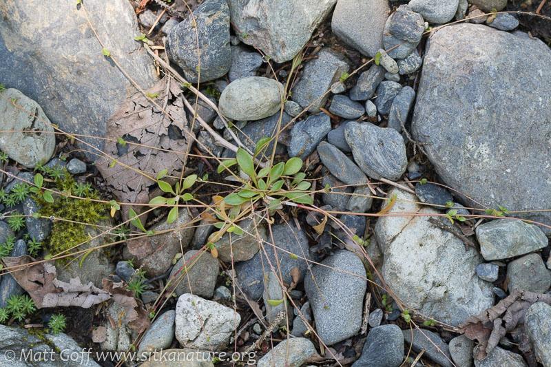 Small-leaf Montia (Montia parvifolia)