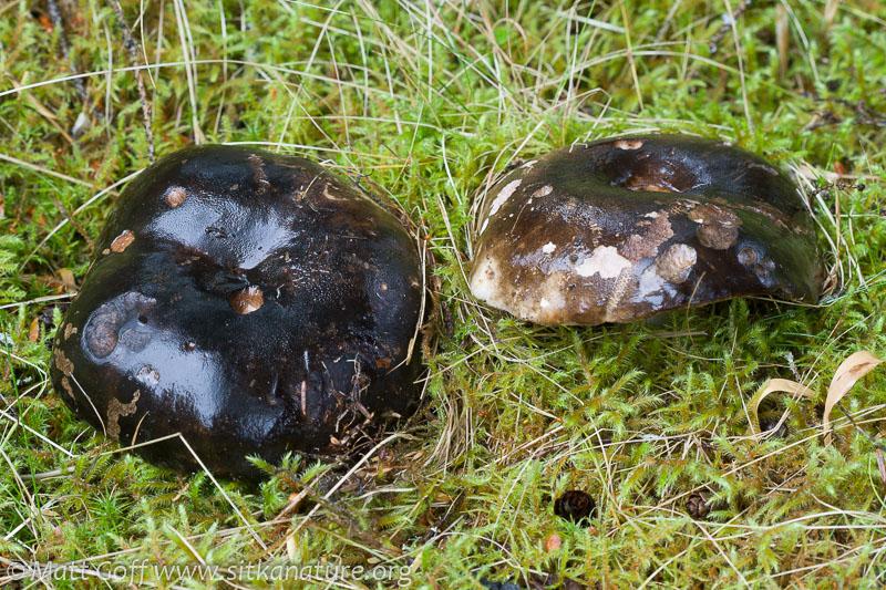 Blushing Russula (Russula nigricans)