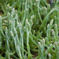 Beach Asparagus (Sarcocornia perennis)