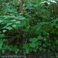 Japanese Knotweed (Fallopia japanica)