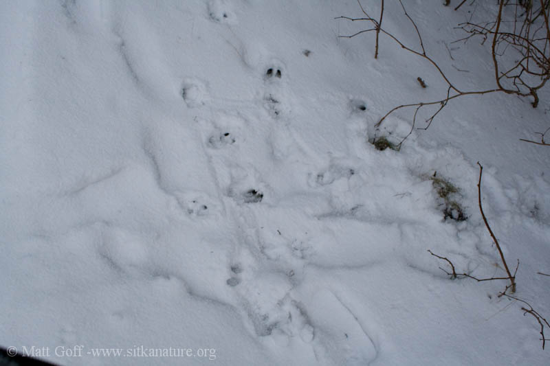 Deer Tracks and Feeding Sign