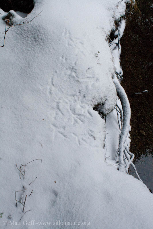 Great Blue Heron Tracks