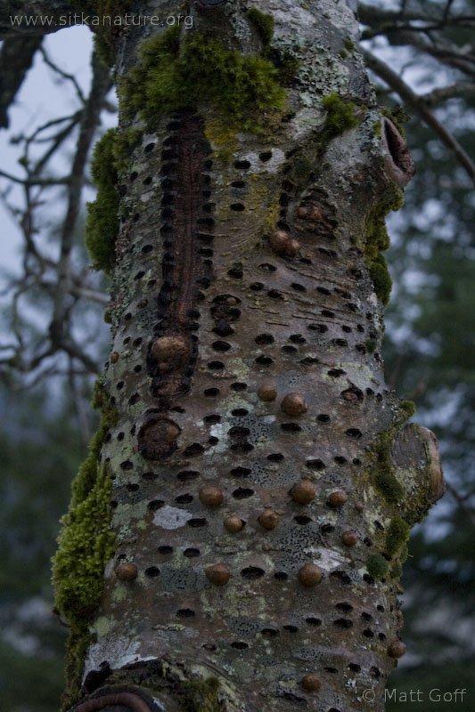 Rowan Tree with Sapsucker Wells