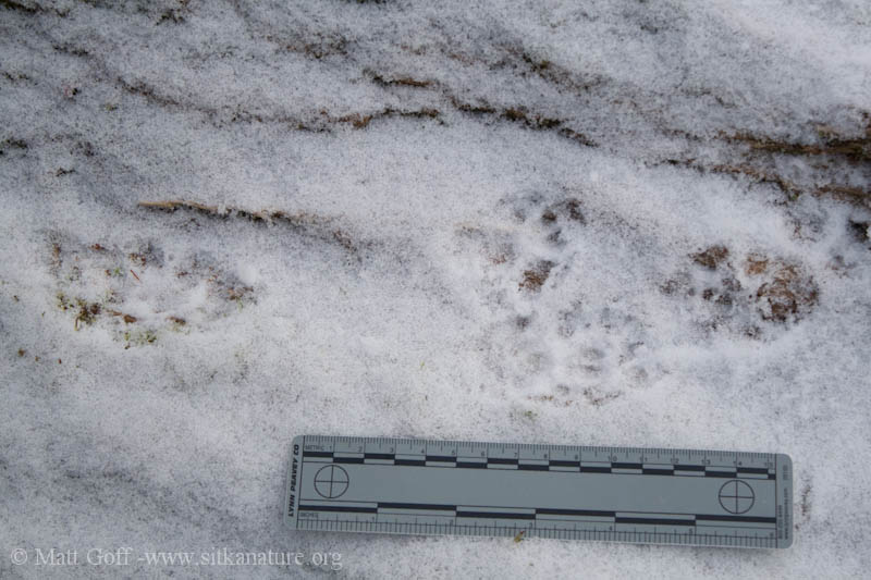 Mink Tracks at Totem Park
