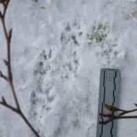 Mink Tracks at Totem Park