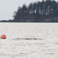 Nearshore Whale