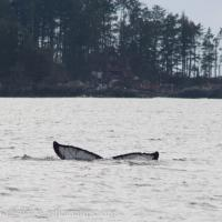 Humback Whale Diving