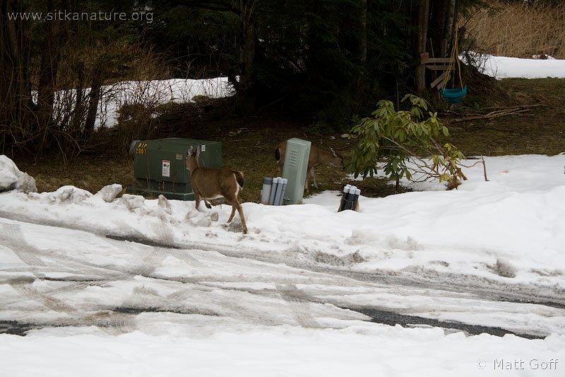 Sitka Black-tailed Deer
