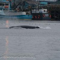 Humpback Whale in the Channel