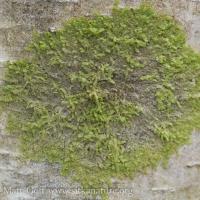 Epiphytic Liverwort