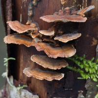 Turkey-tail Fungus (Trametes versicolor)