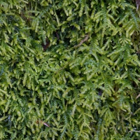 Heterocladium macounii