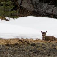 Nakwasina Deer