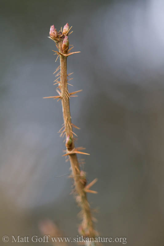 Prickly Currant (<em>Ribes lacustre</em>