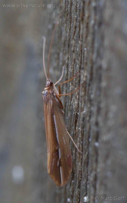 Snow Sedge Caddisfly (Psychoglypha sp)