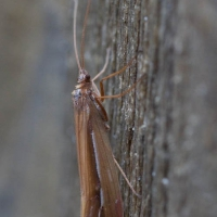 Snow Sedge Caddisfly (Psychoglypha sp)