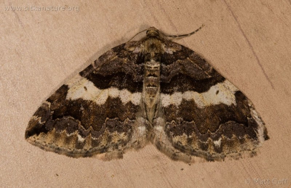 Variable Carpet Moth (Anticlea vasiliata)