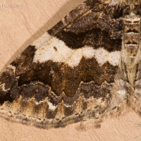 Variable Carpet Moth (Anticlea vasiliata)