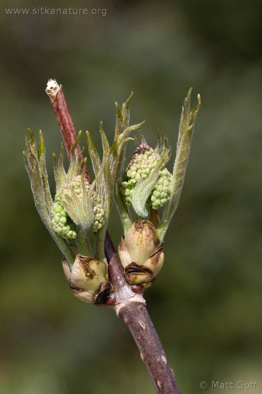 Budding Red Elderberry  (Sambucus  racemosa)