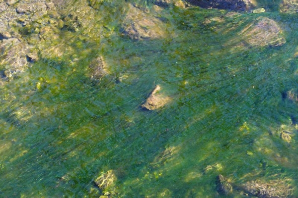 Indian River Algae