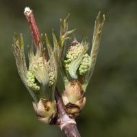 Budding Red Elderberry  (Sambucus  racemosa)