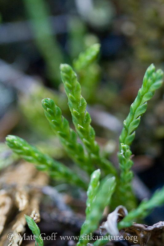 Alpine Clubmoss (<em>Diphasiastrum alpinum</em>)