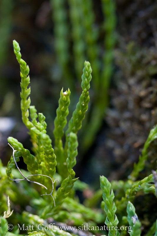 Alpine Clubmoss (<em>Diphasiastrum alpinum</em>)