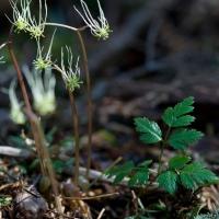 Fern-leaf Goldthread  (<em>Coptis aspleniifolia</em>)