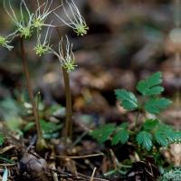 Fern-leaf Goldthread  (<em>Coptis aspleniifolia</em)