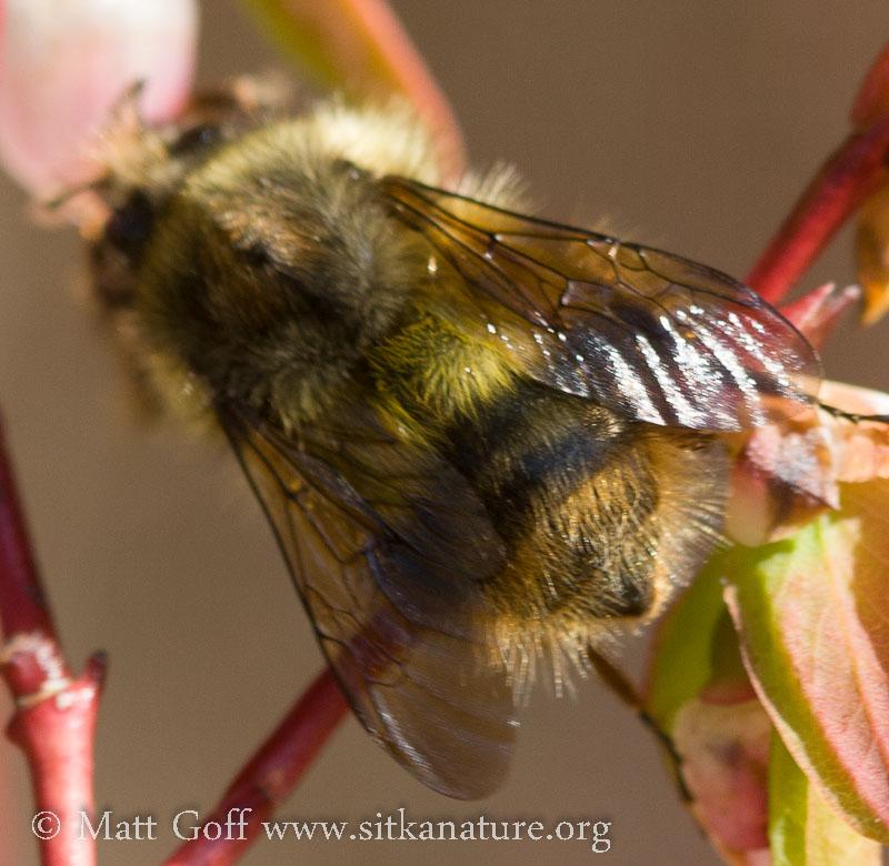 Bumblebee (Bombus sp)