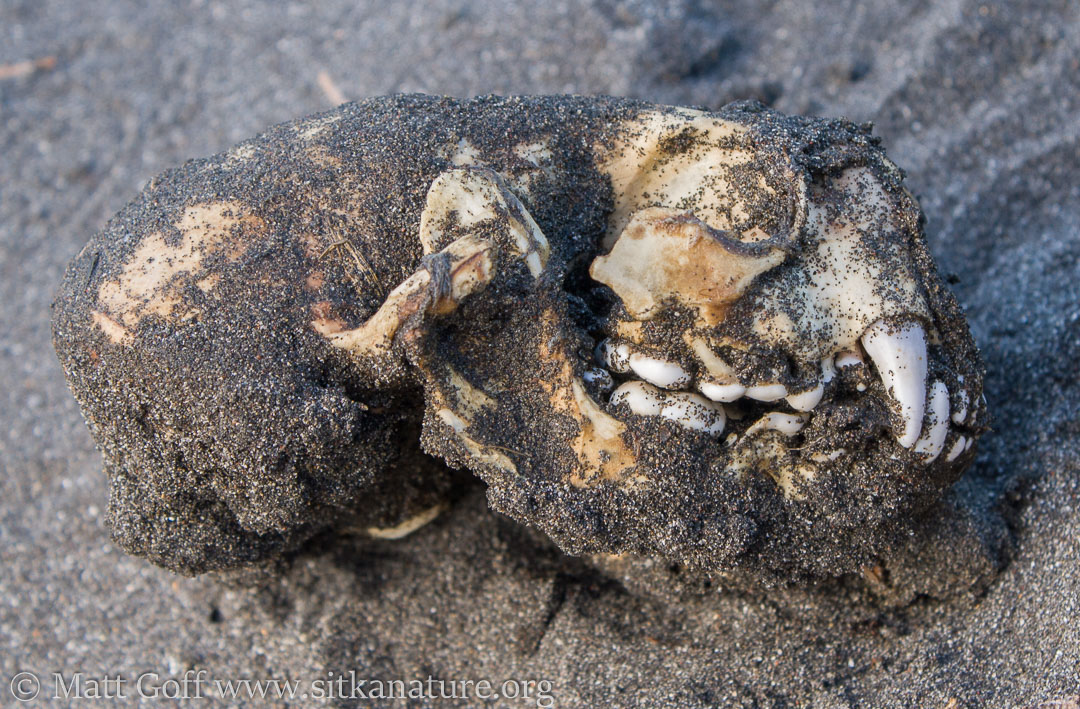 Sea Otter Skull