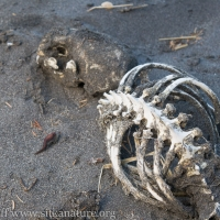 Sea Otter Remains