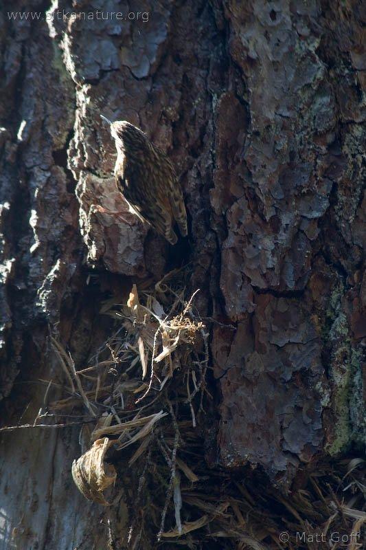 Brown Creeper (Certhia americana) Nest