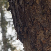 Nesting Brown Creeper (Certhia americana)