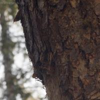 Nesting Brown Creeper (Certhia americana)