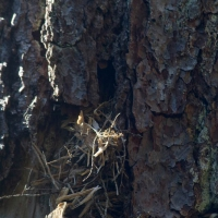 Brown Creeper (Certhia americana) Nest