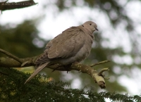 Eurasian Collared Dove (Streptopelia decaocto)
