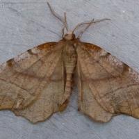 Northern Selenia (Selenia alciphearia)