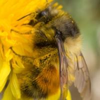 Black-tailed Bumblebee (Bombus melanopygus)