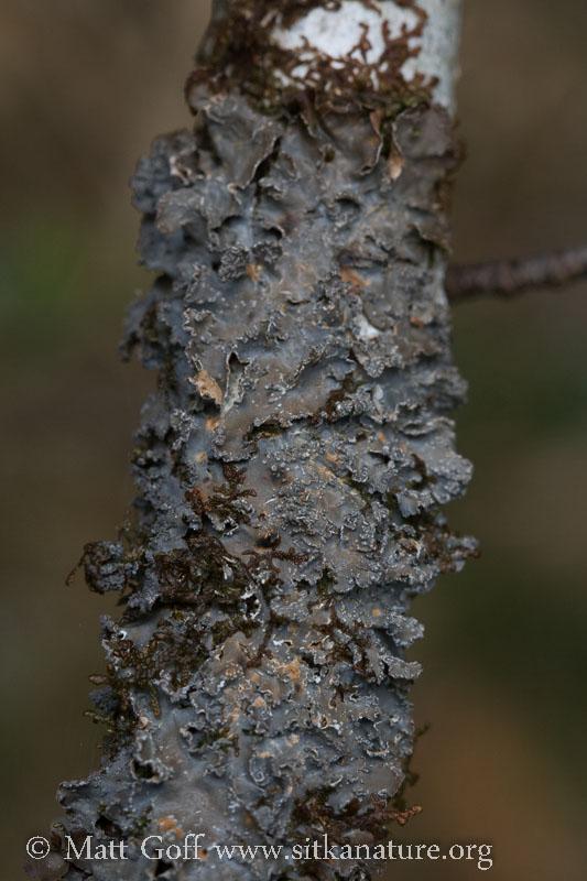 Gray Lichen (Nephroma sp?)